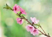 Melocotonero en flor hermosa rosa sobre fondo verde — Foto de Stock