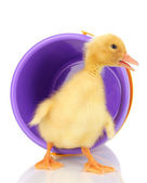 Duckling and bucket isolated on white — Stock Photo