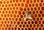 Yellow beautiful honeycomb with honey and bee, background — Stockfoto