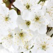 Beautiful cherry blossom close up — Stock Photo #12123747