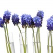 Muscari - hyacinth in test-tubes isolated on white - Stock Photo