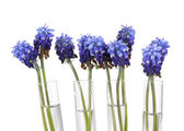 Muscari - hyacinth in test-tubes isolated on white — Stock Photo