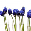 Muscari - hyacinth in test-tubes isolated on white — ストック写真