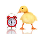 Duckling and alarm clock isolated on white — Stock Photo