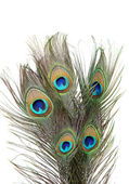 Peacock feathers on white background close-up — Stock Photo