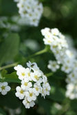 Beautiful spirea flosers in the garden — Stock Photo