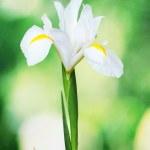 Beautiful iris on green background — Stock Photo #12160565