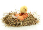 Beautiful little chicken and eggs in nest, isolated on the white — Stock Photo