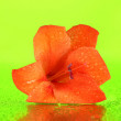 Beautiful bud of orange gladiolus on green background close-up — Stock Photo
