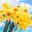 Beautiful yellow daffodils on blue sky background — Stock Photo #12203686