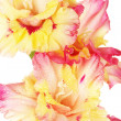 Branch of yellow-pink gladiolus on white background close-up — Stock Photo