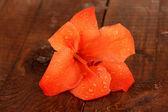 Beautiful bud of orange gladiolus on wooden background close-up — Stock Photo