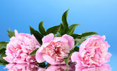 Three pink peonies on blue background — Stock Photo