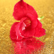 Beautiful bud of pink gladiolus on golden background close-up — Stock Photo