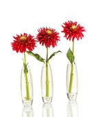 Beautiful red dahlias in vases isolated on white — Stock Photo
