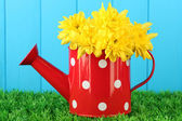 Colorful chrysanthemums in red watering can with white polka dot on blue fence background — Stock Photo