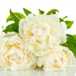 Stock Photo: Beautiful peonies isolated on white