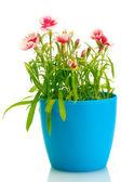Garofani fiori in vaso isolato su bianco — Foto Stock