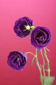 Purple eustoma on pink background — Stock Photo
