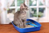 Small gray kitten in blue plastic litter cat on wooden table on window background — Stock Photo