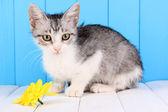 Small gray kitten on wooden table on blue wooden background — Stock Photo