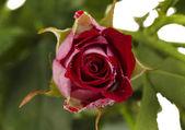 Beautiful vinous roses on white background close-up — Stock Photo