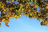 кленовые листья, золотая осень — Стоковое фото