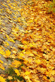 Yellow autumn maple leaf alley — Stock Photo