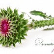 Stock Photo: Spiny flower