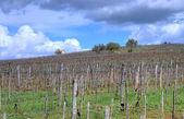 Vineyard in Tokaj — Stock Photo