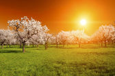 Sunset over the grove — Stock Photo