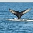 Stock Photo: Humpback whale fin