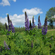 Lupine — Stock Photo #10787514