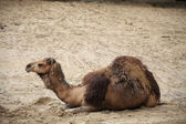 Camel in the desert animal — Stock Photo