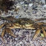 Grass Crab — Stock Photo #11939231