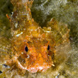 Black Sea scorpionfish - Stock Photo