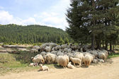 A flock of sheep — Stock Photo