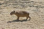 à luz do sol, em pé um único capibara — Foto Stock