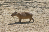 A single capibara standing in the sunlight — Stock Photo