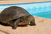 Aquatic turtle — Stock Photo