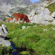 Cow on alpine pasture — Stock Photo