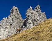 Chamois in Alps — Stock Photo