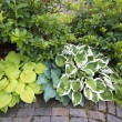 Stock Photo: Variety of Hostas and Shrubs Along Garden Path