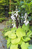 Hostas in Bloom Along Garden Path — Stock Photo