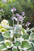 Variegated Leaf Hostas in Bloom — Stock Photo
