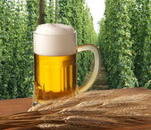 Beer with hop field — Stock Photo