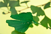 Ginkgo biloba — Stock Photo
