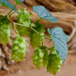 Hop cones- raw material for beer production - Stock Photo