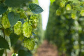 Hop cones- raw material for beer production — Stock Photo