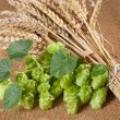 Barley with hop cones - Stock Photo